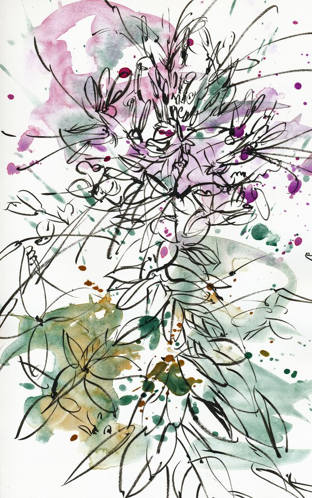 Cleome, splattered
