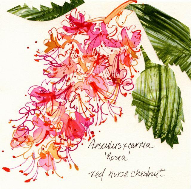 J C Raulston Arboretum illustrations: horse chestnut