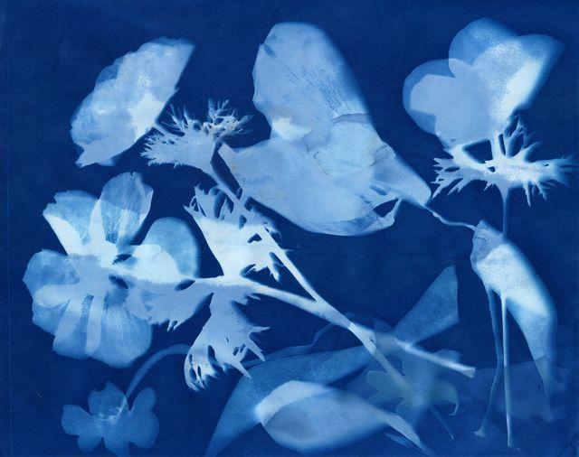 Peregrine Farm anemones: cyanotype