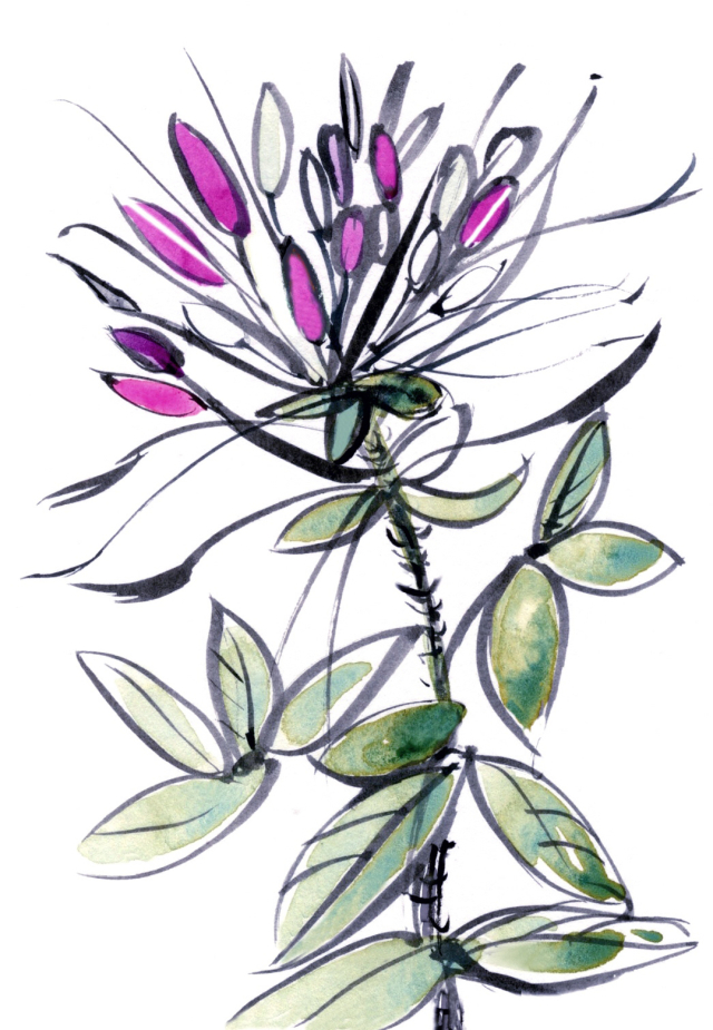 Charleston Style & Design Fall 2017: cleome flower, one of my illustrations